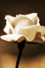 Rosa Blanca Decoración Sepia.